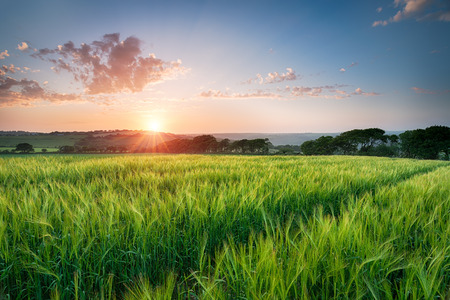 taphouse: Dramatic sunset over fields of ripening barley near West Taphouse in Cornwall