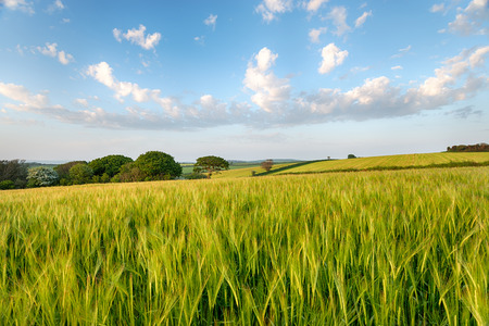 Fields of summer barley ripening in the Cornish countryside near West Taphouse Stock Photo