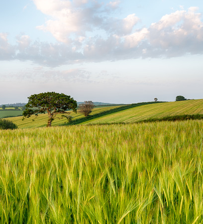 taphouse: Summer fields of barley growing in the mid Cornwall countryside near West Taphouse Stock Photo