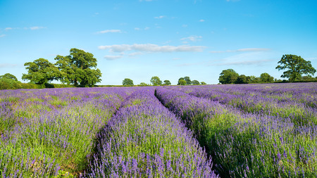 somerset: A filed of lavender growing in the Somerset countryside