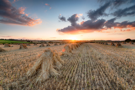 Stunning sunset over sheafs of wheat in the Devon Countryside