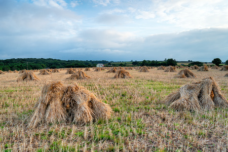 A field of barley stooks after the harvest in near Wembworthy in Devon