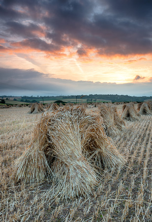 stood up: Sunset over a field of stooks at Wembworthy in Devon, these are traditional sheaves of barley stood up to keep them dry until they are ready for threshing or as a thatching material