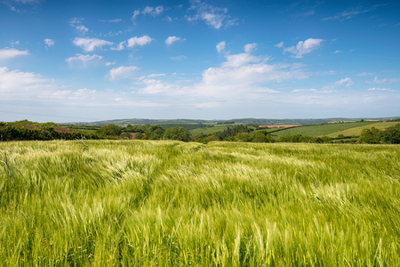 taphouse: A lush green field of summer barley growing near West Taphouse in the Cornish countryside
