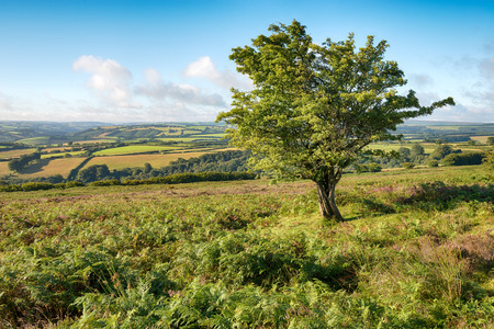 A gnareled hawthorn tree grwoing on moorland on Dunkery Hill on Exmoor national Park in Devon