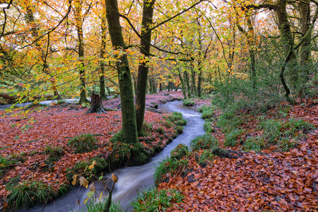 bodmin: Autumn woodland and stream at Golitha Falls on the edge of Bodmin Moor in Cornwall