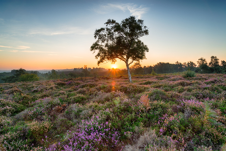 Sunrise over heather on Rockford Common near Ibsley in the New Forest National Park in Hampshire Foto de archivo