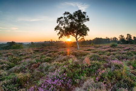 Zonsopgang over heide op Rockford Common dichtbij Ibsley in het Nieuwe Bos Nationale Park in Hampshire