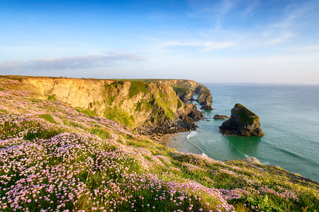 Thrift in bloom on cliffs above Bedruthan Steps beach on the Cornwall coast near Newquay