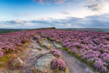 Beautiful summer heather at Winyards Nick inn the Derbyshire Peak District, looking out to Over Owler Tor