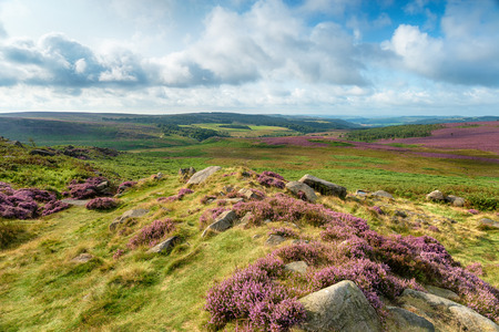 Summer heather at Carl Wark hill fort in the Derbyshire Peak District