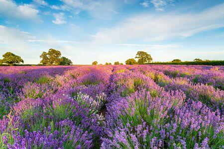 Lavender fields in full bloom near Radstock in the SOmerset countryside