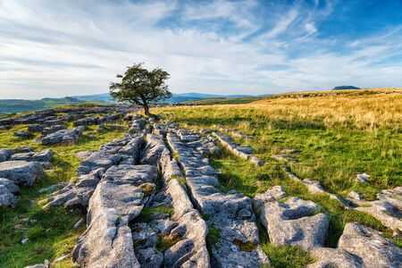 A windswept Hawthorn tree growing on a limestone pavement in the Yorkshire Dales near Settle Stock Photo