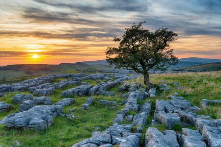 A gnarled Hawthorn tree on a limestone pavement at the Windskill Stones near Settle in Yorkshire
