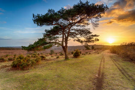 Beautiful sunset over a lone Pine tree at Bratley View in the New Forest National Park in Hampshire