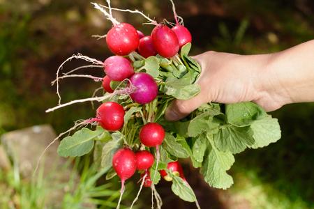 arm bouquet: Fresh garden radish in hands