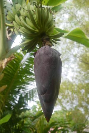 jantung pisang Stock Photo