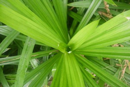 pandan leaf Stock Photo