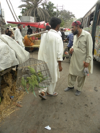 holy thursday: PAKISTANKARACHI_STREET VENDOR SELLING BIRDS PARROTS IN STREET FOR HIS LIVELIHOOD IN THE HOLY  MONTH OF RAMADAM, RAMADAM IS HOLIEST MONTH IN ISLAMIC CALENDAR TODAY ON THURSDAY 26 JULY 2012 IN KARACHI