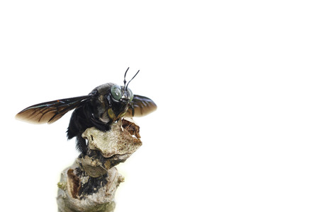 entomology: carpenter bee on with background Stock Photo