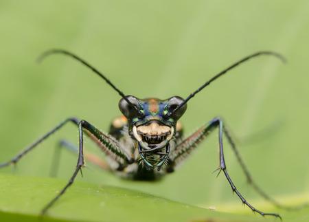 tiger beetle: tiger beetle