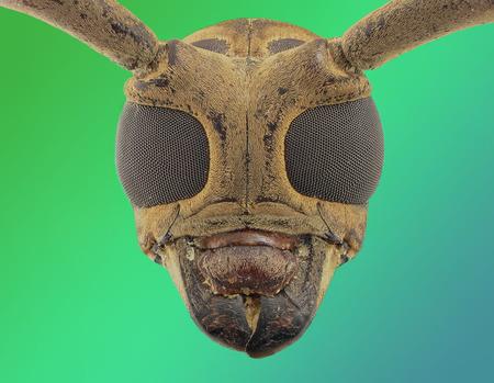 longhorn beetle: longhorn beetle face