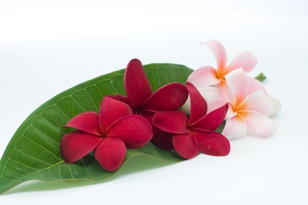 Two type of plumeria on the green leaf