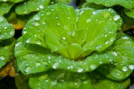 salvinia: Salvania and morning dews