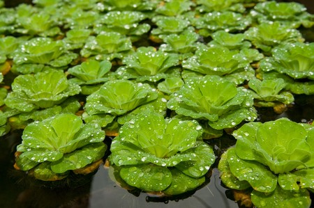 Floating salvinia in pond