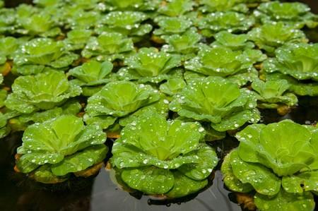 salvinia: Floating salvinia in pond