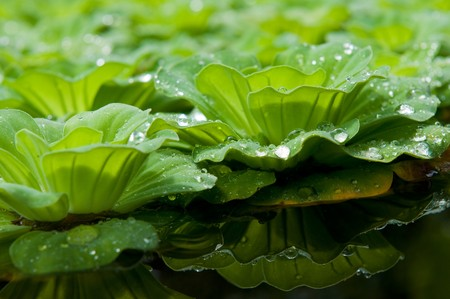 salvinia: Floating salvinia in pond and the shadow