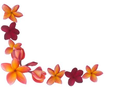 plumeria flower: Frangipani border  Stock Photo