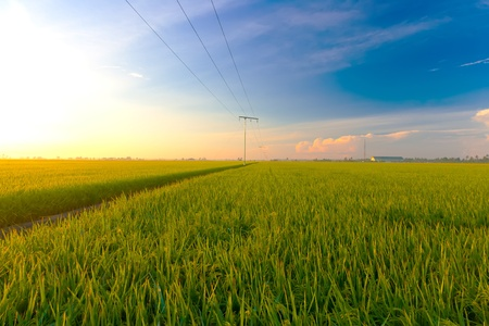 Paddy field in the morning photo