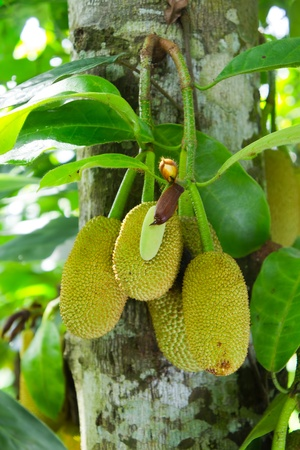 The young jackfruit fresh on the farm Stock Photo - 11184042