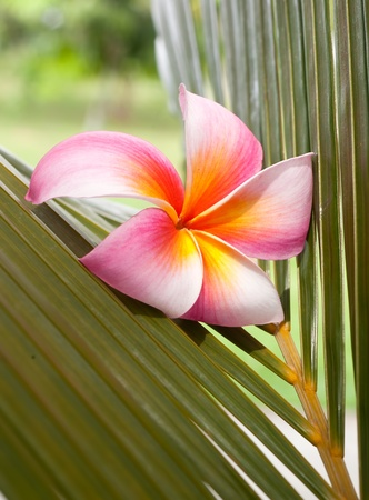 Plumeria flower on the coconut leaf - spa concept