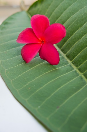 Red plumeria on the green leaf photo