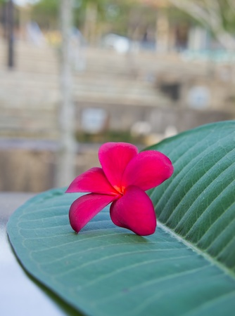 Red plumeria on the green leaf at outdoor photo