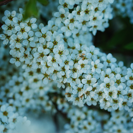 florets: bush of small white florets. Branchsmall flowers Stock Photo