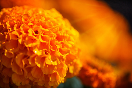 patula: Close up Beautiful  orange Marigolds tagetes patula in sunshine