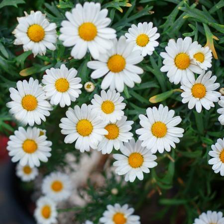 Sun flower: Bouquet von frischen Kamillen. Natürliche niedlich Hintergrund
