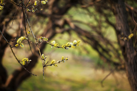 salix: yellow pussy willow Salix caprea branches with buds blossoming  in spring nature