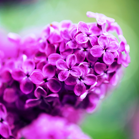 selective: Beautiful spring lilac flowers, outdoors, selective focus Stock Photo