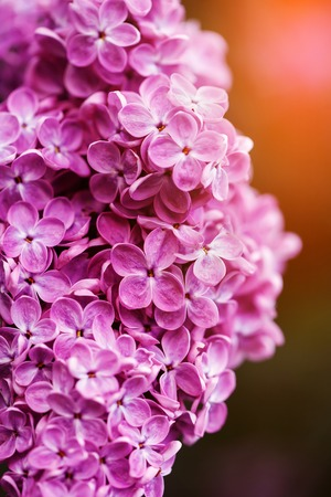 fragrant bouquet: spring lilac flowers, selective focus