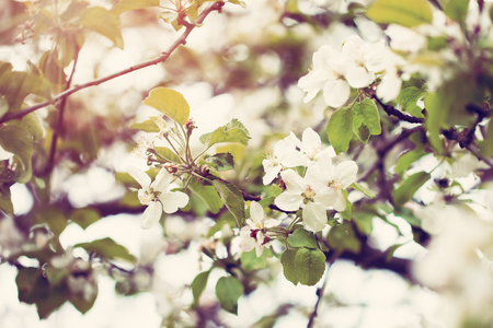 spring: Blossom apple tree  over nature background, Spring flowers,Spring Background