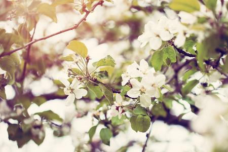 � spring: Manzano flor sobre fondo de naturaleza, flores de primavera, fondo de primavera