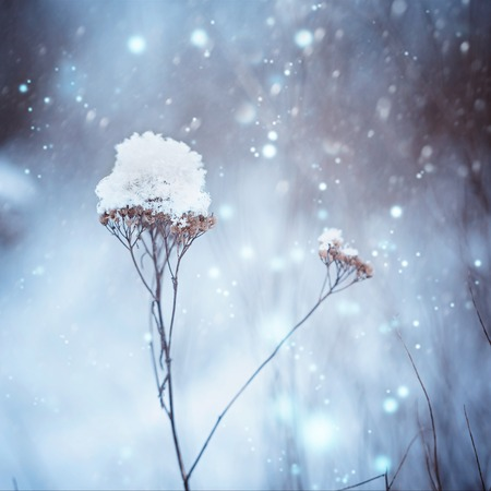 frozenned: Dry plants in snow in the winter. Winter nature background. Frozenned flower Stock Photo