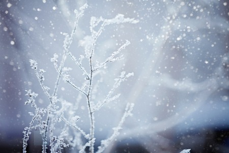 frozenned: Winter scene. Frozenned plants. Winter nature background