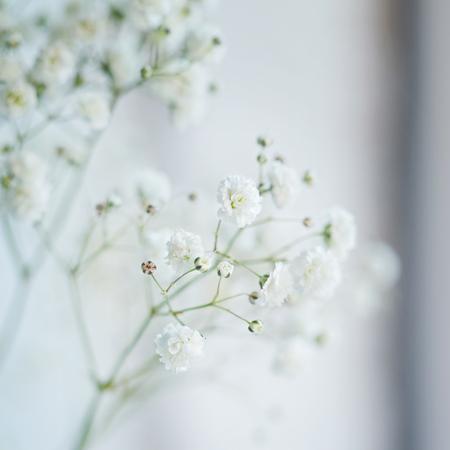 Small  White Flowers Gypsophila paniculata blurred, selective focus