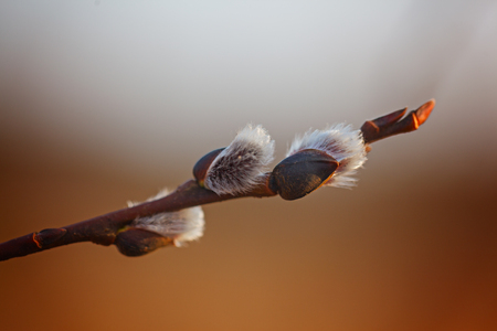 salix: Willow Salix caprea branches with buds blossoming in early spring. Stock Photo