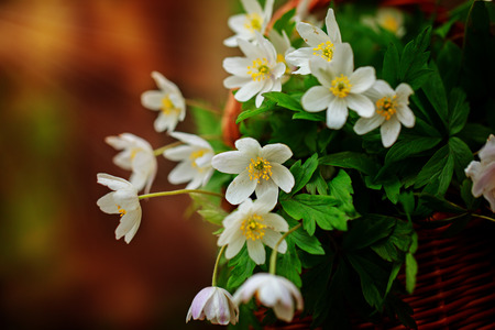 windflower: Beautiful flowers Anemone nemorosa common names: wood anemone, windflower, thimbleweed, and smell fox in the forest. Stock Photo